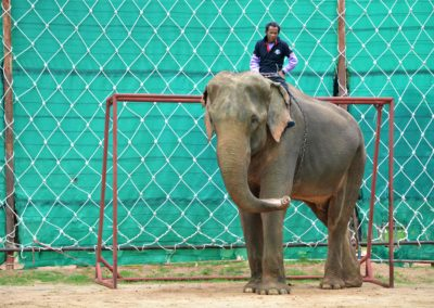 Part of the job of this older elephant and mahout is preventing the ball from entering a net during a soccer match near the community of Surin in northeast Thailand.