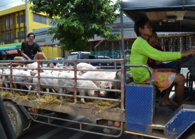Young pigs being transported in comfort through Lom Sak, Phetchabun province Thailand